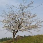 小岩井の石割桜